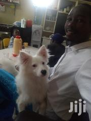 Snow White American Spitz | Dogs & Puppies for sale in Uasin Gishu, Kapsoya