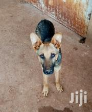 Pure GSD Puupy [6 Months] | Dogs & Puppies for sale in Kiambu, Muguga