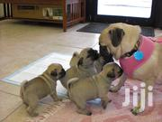 Pug Puppies For Sale | Dogs & Puppies for sale in Nairobi, Nairobi South
