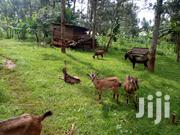 Alpine Goats For Sale | Livestock & Poultry for sale in Nairobi, Kahawa