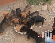 Puppies For Sale | Dogs & Puppies for sale in Nairobi, Kitisuru