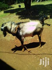 Male Goat For Sale (Senge).Whitish And Patches Of Black In Colour | Other Animals for sale in Nairobi, Uthiru/Ruthimitu