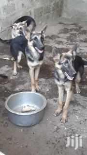 German Shepherd | Dogs & Puppies for sale in Nairobi, Karen