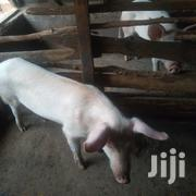 Boars For Sale. Medium Size | Livestock & Poultry for sale in Murang'a, Kigumo