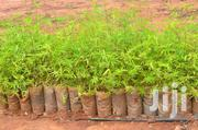 Bamboo Seedlings | Feeds, Supplements & Seeds for sale in Nairobi, Nairobi Central