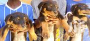 Pure Breed Rottwailers Fully Vaccinated | Dogs & Puppies for sale in Nairobi, Kayole Central