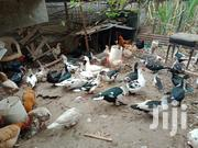 Ducks And Perkins Kienyeki Quick Sale | Livestock & Poultry for sale in Kiambu, Gitothua