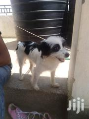 Chihuahua 6 Months Puppy | Dogs & Puppies for sale in Nairobi, Baba Dogo