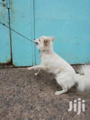 Chinese Spitz | Dogs & Puppies for sale in Nairobi, Embakasi