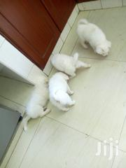 Japanese Spitz | Dogs & Puppies for sale in Kisumu, Migosi