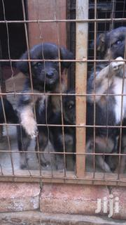 Pedigree German Shepherd Puppies | Dogs & Puppies for sale in Nairobi, Kitisuru