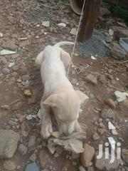 A 3month Puppy | Dogs & Puppies for sale in Nairobi, Parklands/Highridge