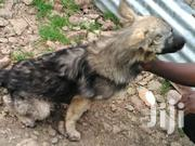 Pure Breed Long Coat German Shepherd | Dogs & Puppies for sale in Nairobi, Kitisuru