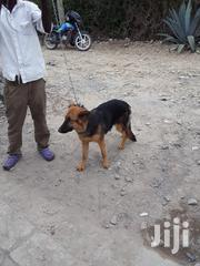 German Sherperd | Dogs & Puppies for sale in Kajiado, Kitengela