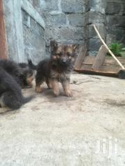 Long Coat German Shepherd Puppies | Dogs & Puppies for sale in Nakuru, Kiamaina
