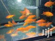 Ornametal Fish | Fish for sale in Nairobi, Nairobi Central