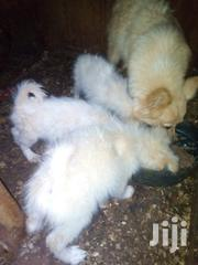Pure White Fluffy Puppies | Dogs & Puppies for sale in Kiambu, Kinoo
