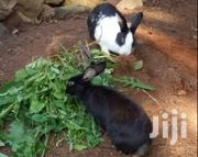 Dutch Rabbits | Other Animals for sale in Trans-Nzoia, Saboti