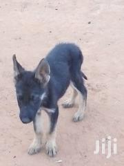 German Shephards | Dogs & Puppies for sale in Kitui, Kwavonza/Yatta