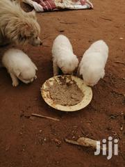 Toy Dogs Looking For A New Home | Dogs & Puppies for sale in Kitui, Kwavonza/Yatta
