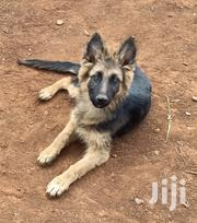 Long Cout Pure Breed | Dogs & Puppies for sale in Nairobi, Kawangware