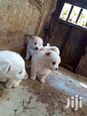 Maltese Spitz Mix Puppies For Exchange | Dogs & Puppies for sale in Kajiado, Ongata Rongai