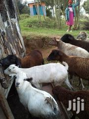 Sheep And Goats | Other Animals for sale in Nyandarua, Magumu