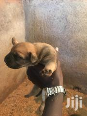 Working Boerboel Puppies Early Booking | Dogs & Puppies for sale in Uasin Gishu, Sergoit