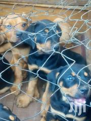 Rotteillers | Dogs & Puppies for sale in Uasin Gishu, Langas