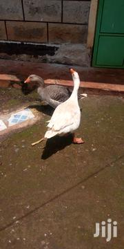 Geese For Sale | Livestock & Poultry for sale in Kirinyaga, Kabare