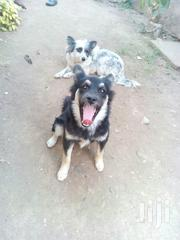 Cute Puppy   Dogs & Puppies for sale in Nairobi, Nairobi West
