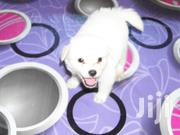 Spits And Terrier Puppies | Dogs & Puppies for sale in Mombasa, Changamwe