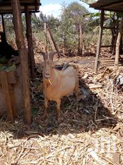 A Male Goat | Other Animals for sale in Embu, Kagaari South