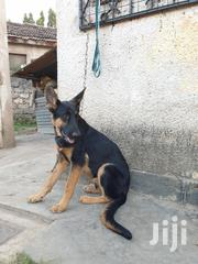 Young Male Purebred German Shepherd Dog | Dogs & Puppies for sale in Mombasa, Changamwe