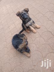 Pure GSD Puppy | Dogs & Puppies for sale in Nairobi, Parklands/Highridge