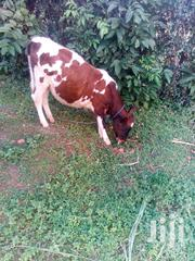 Dairy Cattle | Livestock & Poultry for sale in Homa Bay, East Gem (Rangwe)