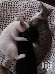 Three Kittens,Eight Months Of Age Going To 9 Months. | Cats & Kittens for sale in Kiambu, Juja