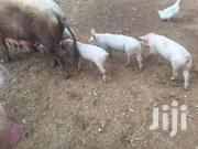 Eight Weeks Piglets For Sale | Livestock & Poultry for sale in Machakos, Matungulu North