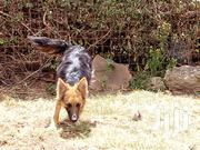5months Long Coat Gsd | Dogs & Puppies for sale in Nakuru, Gilgil