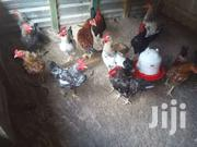 "Kienyeji Kari"" Cocks 6months Old"" 