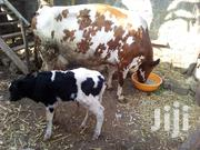 4 Dairy Cows For Sale | Other Animals for sale in Kiambu, Gituamba