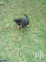 Puppy Bull Dog On Sale | Dogs & Puppies for sale in Nakuru, Kiamaina