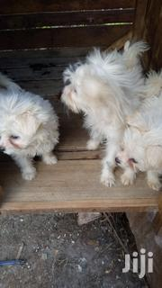 Cute Frullfy Maltese Puppies For Sale | Dogs & Puppies for sale in Kiambu, Hospital (Thika)