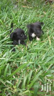 Terrier X Terrier Cross | Dogs & Puppies for sale in Mombasa, Shanzu