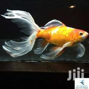 Pond And Aquarium Fish | Fish for sale in Nairobi, Nairobi Central