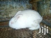 Male Rabbit | Livestock & Poultry for sale in Nairobi, Nairobi Central