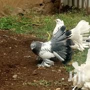 Birds in Shirere for sale ▷ Prices on Jiji co ke ▷ Buy and