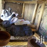 HYBRID RABBITS | Livestock & Poultry for sale in Nairobi, Kasarani