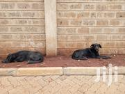 Great Dane Puppies For Sale | Dogs & Puppies for sale in Nairobi, Embakasi