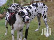 Dane Puppies | Dogs & Puppies for sale in Bungoma, Siboti